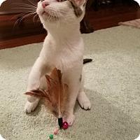 Domestic Shorthair Kitten for adoption in Johnston, South Carolina - Lilo