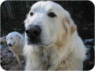 Great Pyrenees Dog for adoption in Kyle, Texas - Captain
