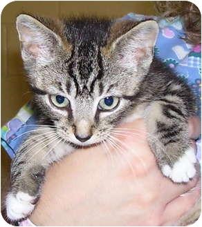 Domestic Shorthair Kitten for adoption in Somerset, Pennsylvania - Jimbo