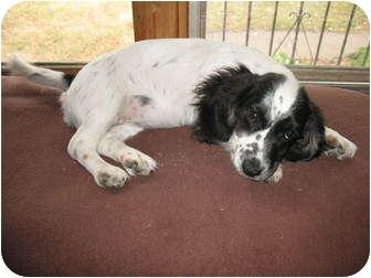 Cocker Spaniel/Dachshund Mix Puppy for adoption in New Brighton, Minnesota - Valerie