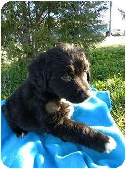 Golden Retriever/Labrador Retriever Mix Puppy for adoption in Nanuet, New York - Thunder