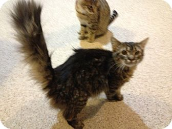 Maine Coon Kitten for adoption in Pittstown, New Jersey - Rhonda