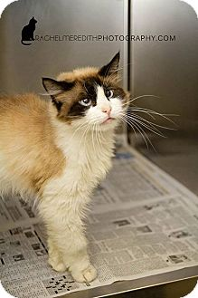 Siamese Cat for adoption in HARRISONVILLE, Missouri - Atlanis
