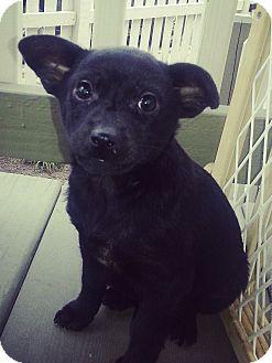 Border Collie/Shiba Inu Mix Puppy for adoption in Chicago, Illinois - Jade