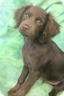 Dachshund Mix Puppy for adoption in Hamburg, Pennsylvania - Willy Wonka