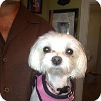 Adopt A Pet :: Brit - Ft. Bragg, CA