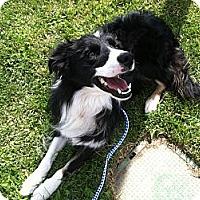 Adopt A Pet :: Shandy - Salt Lake City, UT