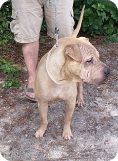 Shar Pei Dog for adoption in ....., Florida - Boomer