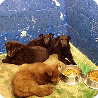 Labrador Retriever Mix Puppy for adoption in Westminster, Colorado - Litter of Labs