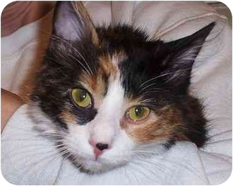 Calico Kitten for adoption in Overland Park, Kansas - Sydney
