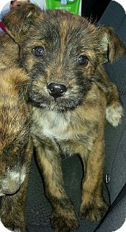 Terrier (Unknown Type, Small) Mix Puppy for adoption in Branford, Connecticut - Ivan