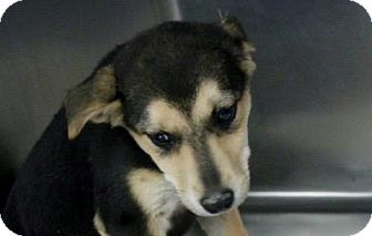 Labrador Retriever/Whippet Mix Puppy for adoption in Williston, Vermont - Kassie