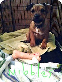Dachshund/Plott Hound Mix Puppy for adoption in Richmond, Virginia - Nibbles