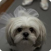 Adopt A Pet :: Ari - Vaudreuil-Dorion, QC