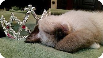 Siamese Kitten for adoption in Ocala, Florida - Willow