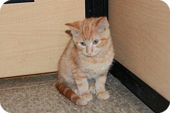 Domestic Shorthair Kitten for adoption in Rochester, Minnesota - Kinsey