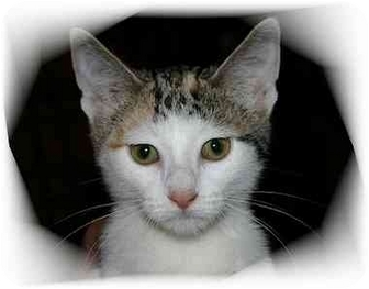 Domestic Shorthair Cat for adoption in Montgomery, Illinois - Trudie