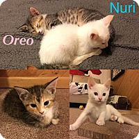 Adopt A Pet :: Oreo and Nuri - Orland Park, IL