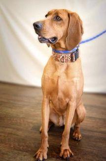 Redbone Coonhound Mix Dog for adoption in Fort Dodge, Iowa - Lottie