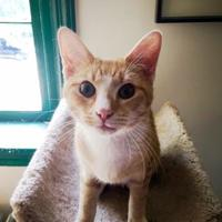 Adopt A Pet :: Chance(FeLV +) - Annapolis, MD