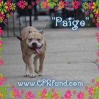 Adopt A Pet :: Paige - Lowell, IN