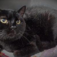 Adopt A Pet :: Blackie - Spartanburg, SC