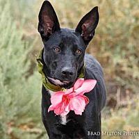 Adopt A Pet :: GORGEOUS - Albuquerque, NM