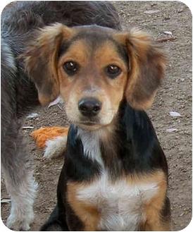 Spaniel (Unknown Type)/Beagle Mix Puppy for adoption in El Segundo, California - Janie
