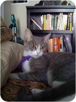 Domestic Shorthair Kitten for adoption in Los Angeles, California - Sombra