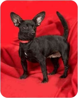 Chihuahua Mix Dog for adoption in Anna, Illinois - BETSY