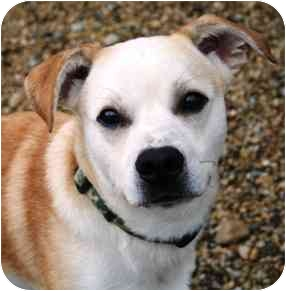 Beagle/Boxer Mix Dog for adoption in Mazon, Illinois - Buster