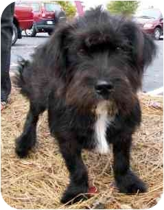 Shih Tzu/Terrier (Unknown Type, Small) Mix Dog for adoption in Wake Forest, North Carolina - Wags