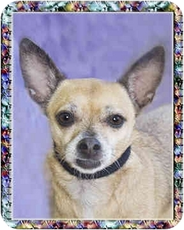 Chihuahua Dog for adoption in North Palm Beach, Florida - Ursula