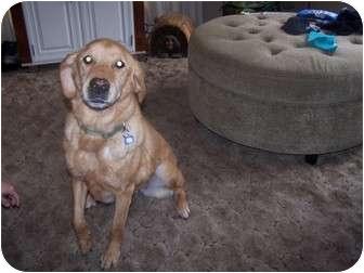 Golden Retriever/Labrador Retriever Mix Dog for adoption in Chewelah, Washington - Ruby