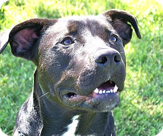 Labrador Retriever/American Pit Bull Terrier Mix Dog for adoption in Patterson, California - BELLA