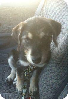Labrador Retriever/German Wirehaired Pointer Mix Puppy for adoption in Ogden, Utah - Rosey