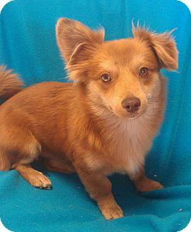 Pomeranian/Fox Terrier (Wirehaired) Mix Dog for adoption in Hammond, Louisiana - Yogi