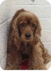 Cocker Spaniel Dog for adoption in Litchfield Park, Arizona - Charlie-Only $85 adoption fee!