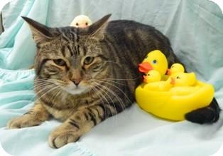 Domestic Shorthair Cat for adoption in Columbus, Nebraska - Franklin