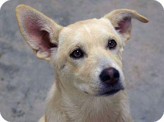 Labrador Retriever/German Shepherd Dog Mix Dog for adoption in Austin, Texas - Julep