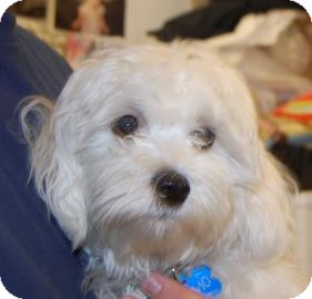 Maltese Mix Puppy for adoption in Brooklyn, New York - Memo