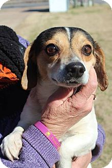 Beagle Mix Dog for adoption in Hearne, Texas - Peanut