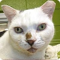 Domestic Shorthair Cat for adoption in Carmel, New York - Charlie