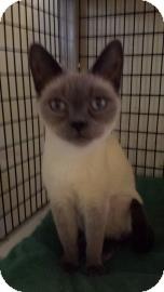 Siamese Cat for adoption in Tucson, Arizona - Montana
