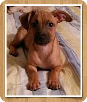 Dachshund Mix Puppy for adoption in Encinitas, California - Ditto