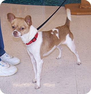 Chihuahua/Rat Terrier Mix Dog for adoption in Concord, North Carolina - Chatito