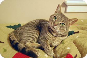Domestic Shorthair Cat for adoption in Carlisle, Pennsylvania - Khloe