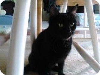 Domestic Shorthair Cat for adoption in Vancouver, Washington - Maid Marian