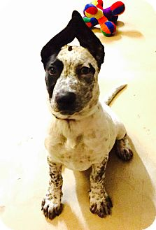 Australian Cattle Dog Puppy for adoption in San Diego, California - Colby