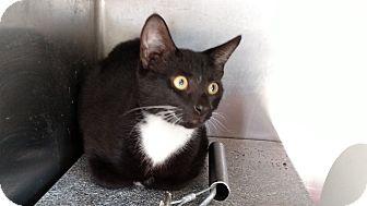 Domestic Shorthair Kitten for adoption in Henderson, North Carolina - Jessie